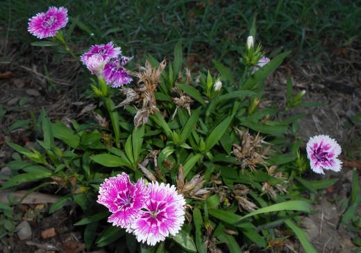 oeuillet dianthus chinensis