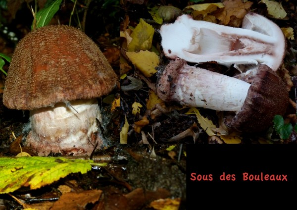 Amanite rougissante...Amanita rubescens