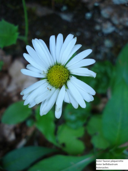 Aster Fausse Paquerette