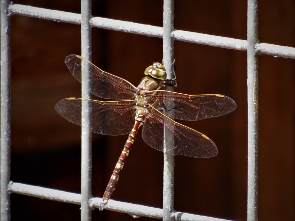 Bluespotted hawker male (Aeshna brevistyla)