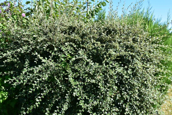 buisson : cotoneaster