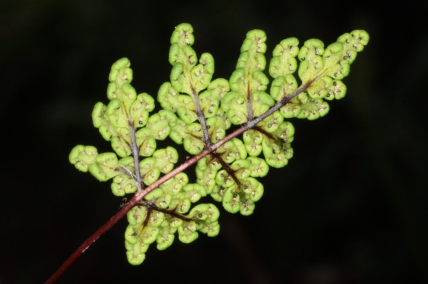 Cheilanthes maderensis