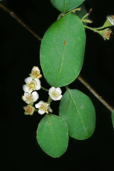 Cotoneaster delphinensis