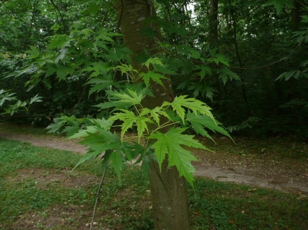 Erable à sucre (Acer saccharum)