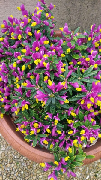 Polygala chamaebuxus Purple Passion