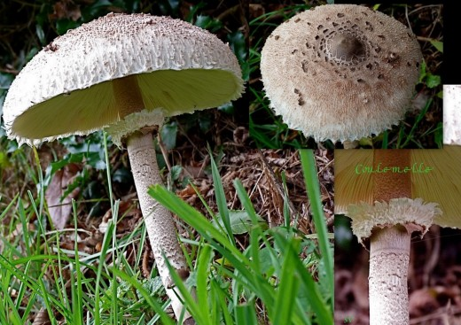 Coulemelle..Macrolepiota procera