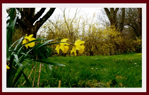 Les haies de Forsythias
