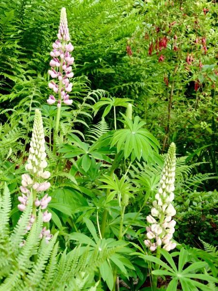 Les Lupins...Lupinus