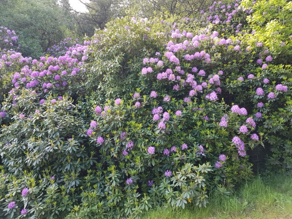 Les Rhododendrons...