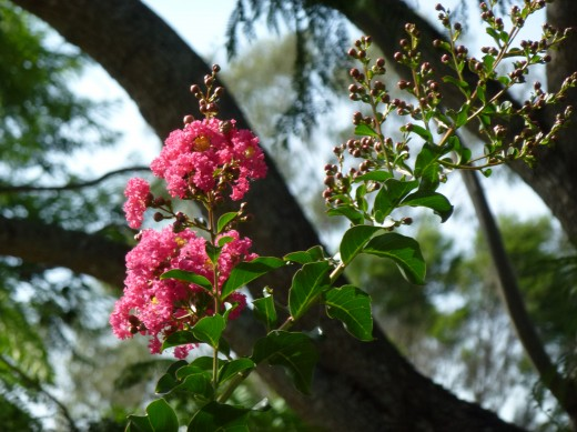 lila des Indes Lagerstroemia