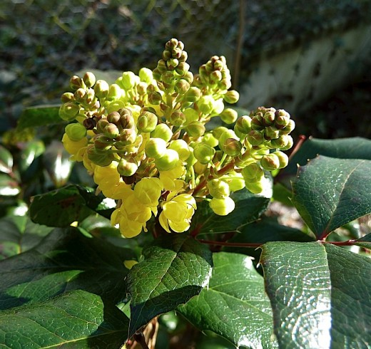 Mahonia faux houx