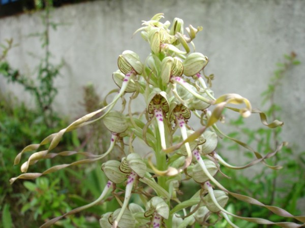 Orchis bouc