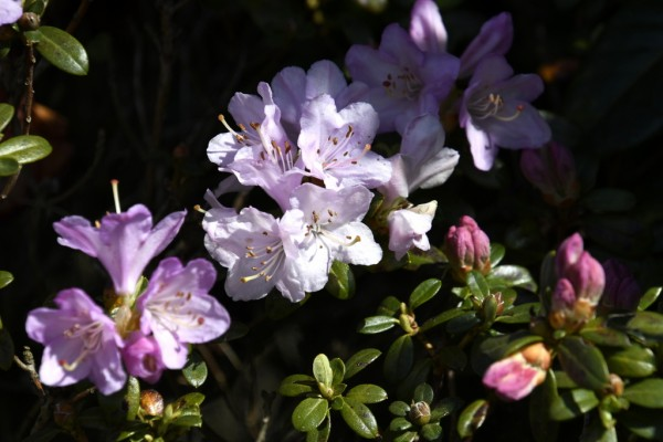 Petit rhododendron