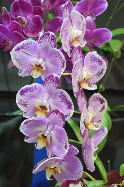 Phalaenopsis Lianher Happy Dancer