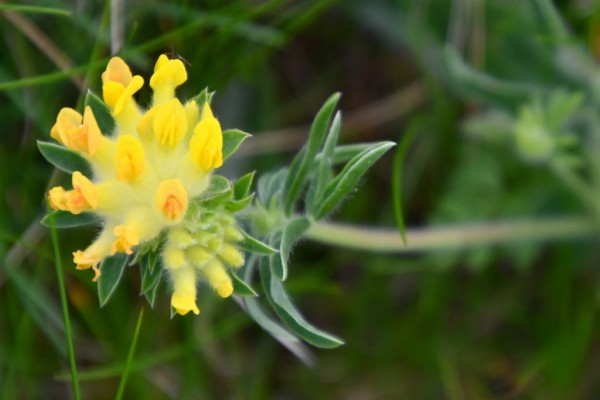 Anthyllis vulneraria