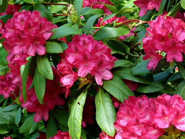 Rhododendron...