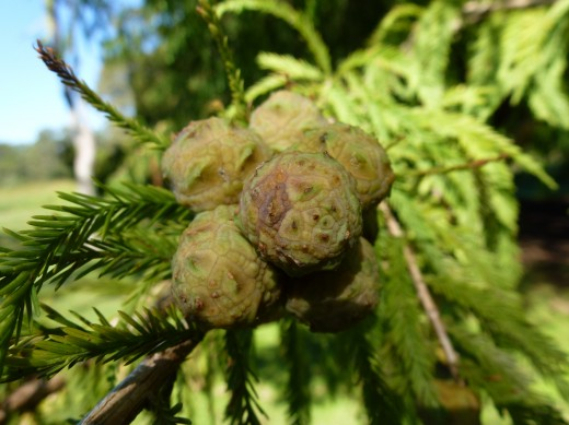 Taxodium distichum fruits