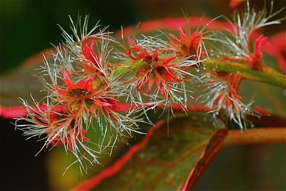 photo   acalypha wilkesiana cv marginata
