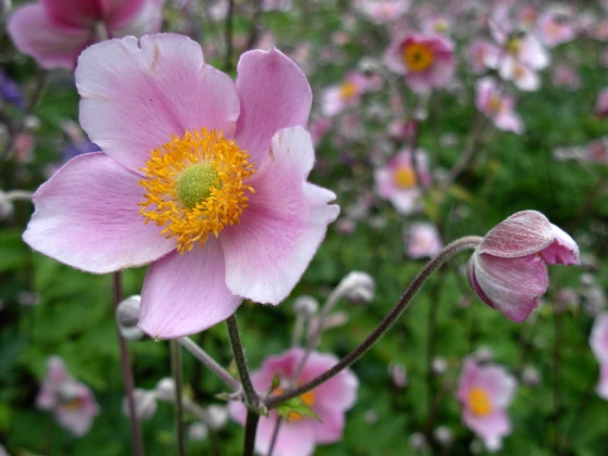 Photo anemone japonica for Anemone giapponese