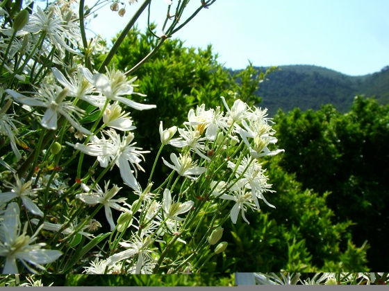 Belles sauvages clematis flammula