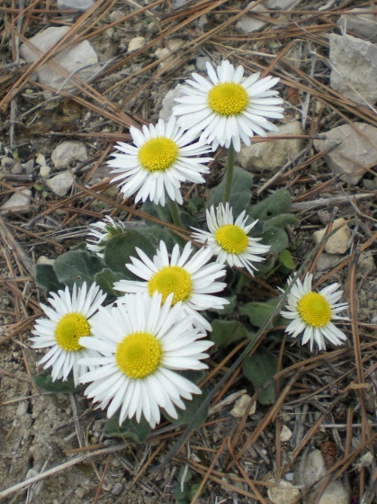 Bellis perennis.. oct.2009. Nice.