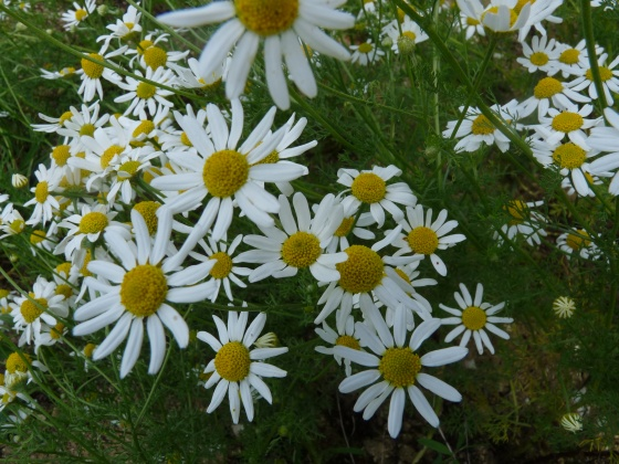 Camomille puante  2 -- Anthemis cotula