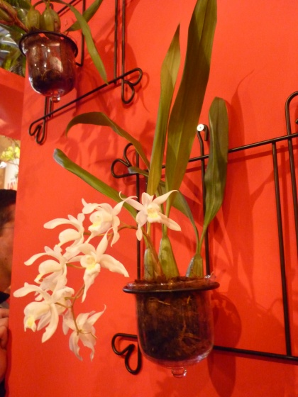 Coelogyne - cristata - ORCHIDACEES