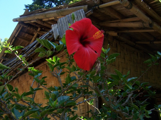 Photo hibiscus for Plante 21 svt