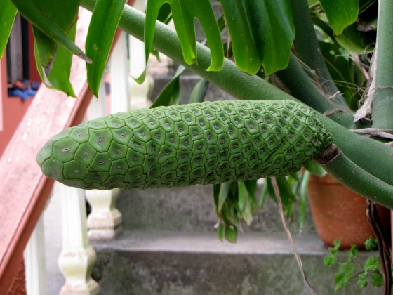 Fruit de philodendron