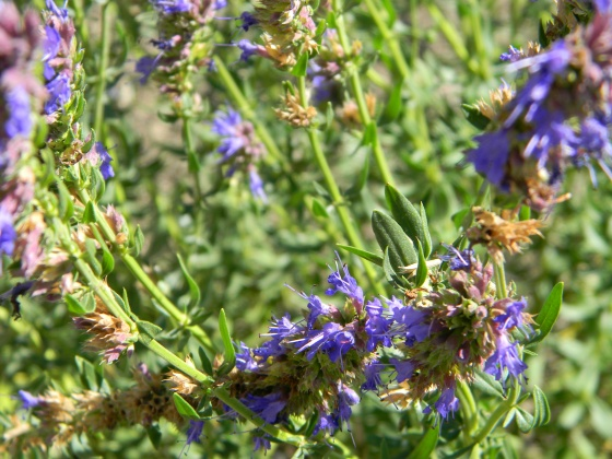 Hyssopus officinalis - Hysope officinale
