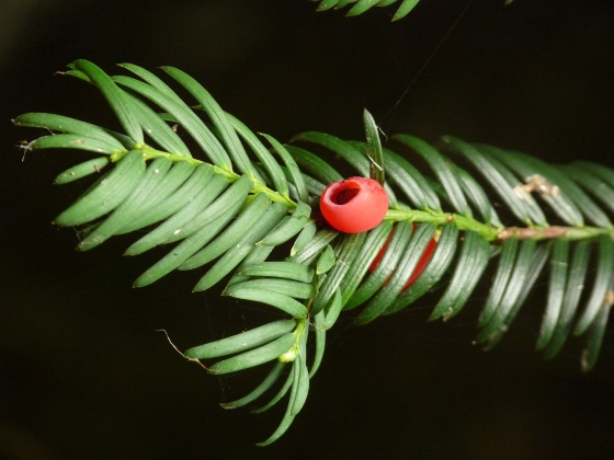 If  1 -- Taxus baccata