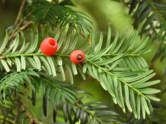 If 2 -- Taxus baccata