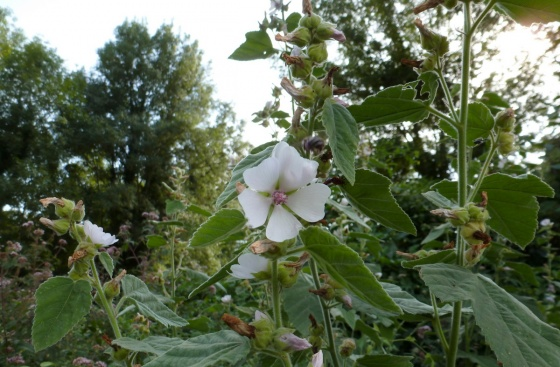 Guimauve-Althaea officinalis