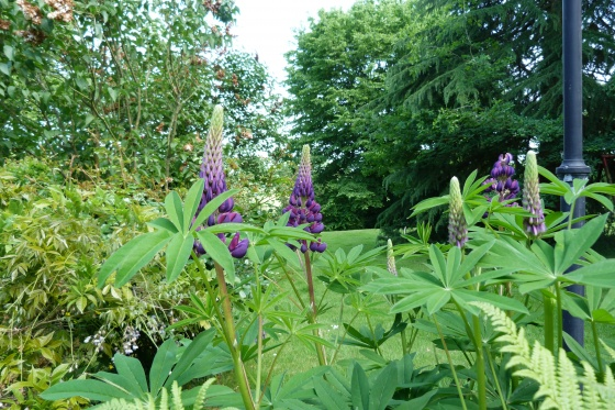Les lupins....