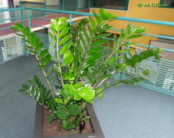 (photo 2/2) Zamioculcas zamiifolia