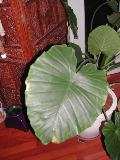 photo alocasia d tail d 39 une des feuilles. Black Bedroom Furniture Sets. Home Design Ideas