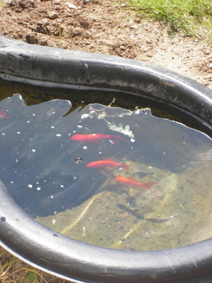 Photo poissons rouges for Bac a poisson rouge