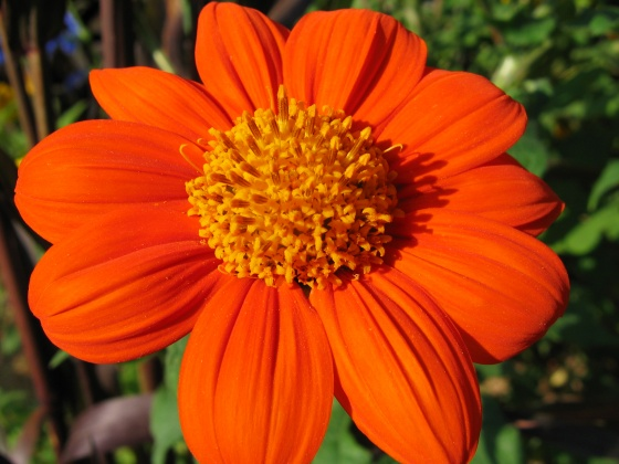 tithonia rotundifolia 'torch' asteracées