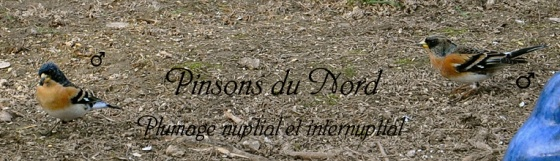 Toujours pinsons du nord