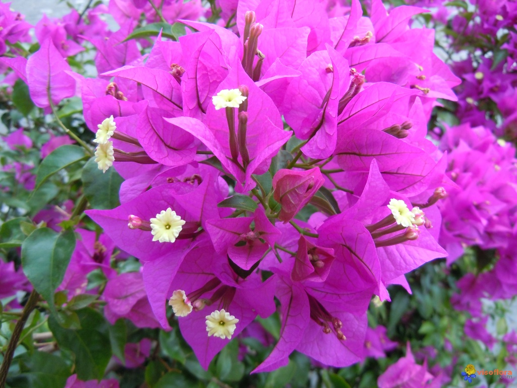 photo : bougainvillier - bougainvillea spectabilis