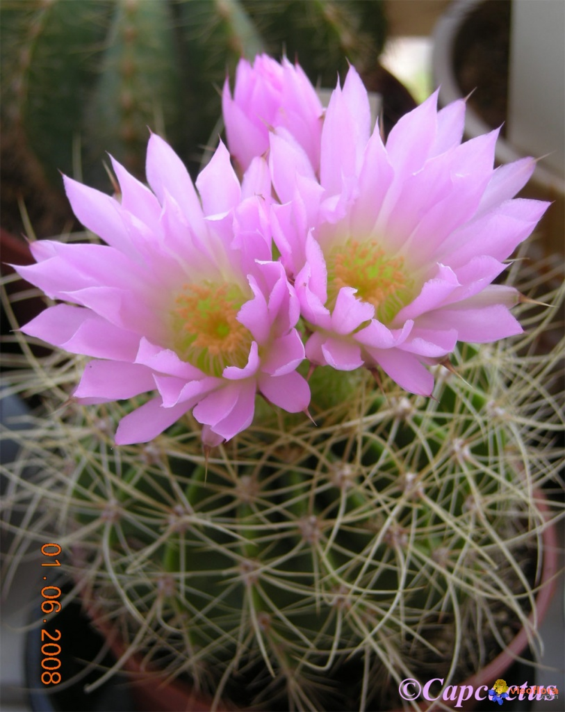 Photo Acanthocalycium Spiniflorum Violaceum