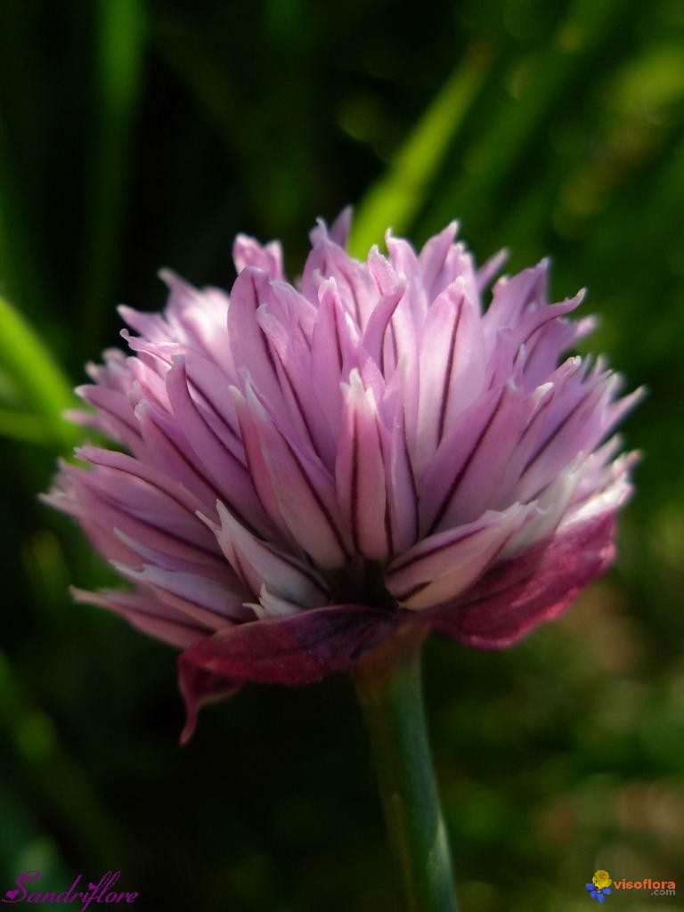 photo   allium schoenoprasum