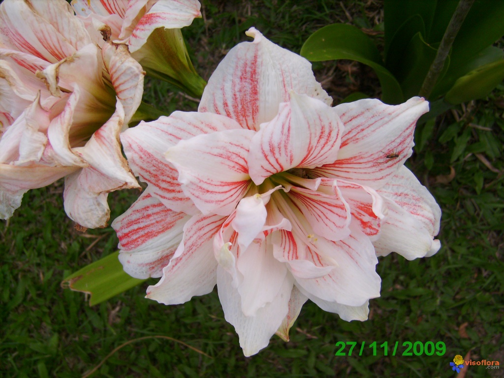 Photo amaryllis double for Les fleurs amaryllis