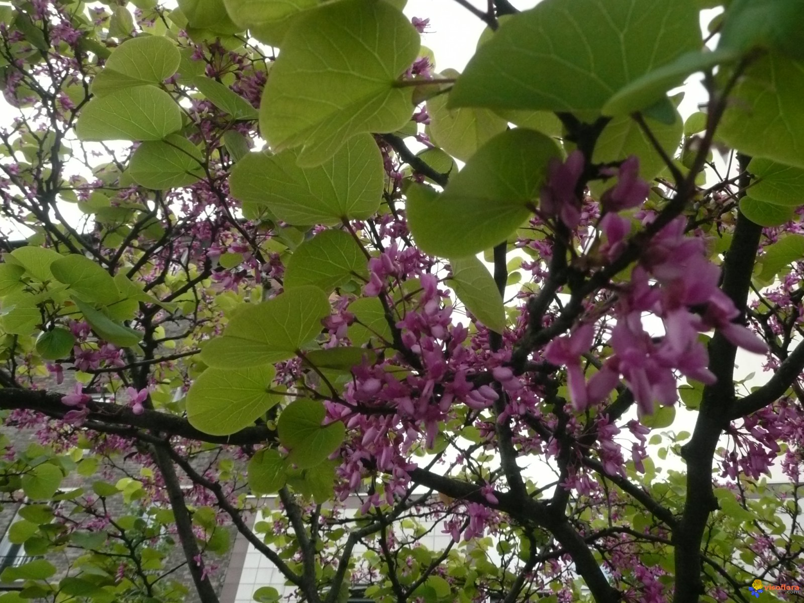 Photo arbre de jud e cercis sliquastrum - Arbre de judee photo ...