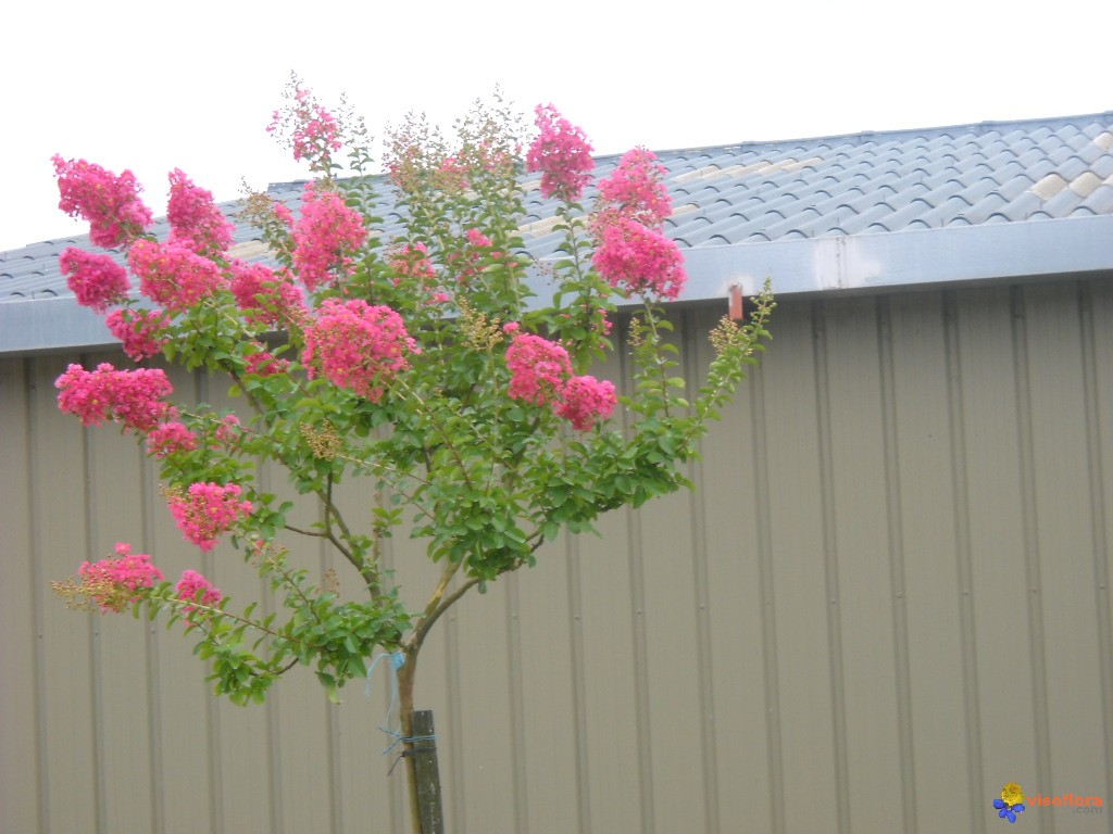 Photo lagerstroemia - Arbre de judee photo ...