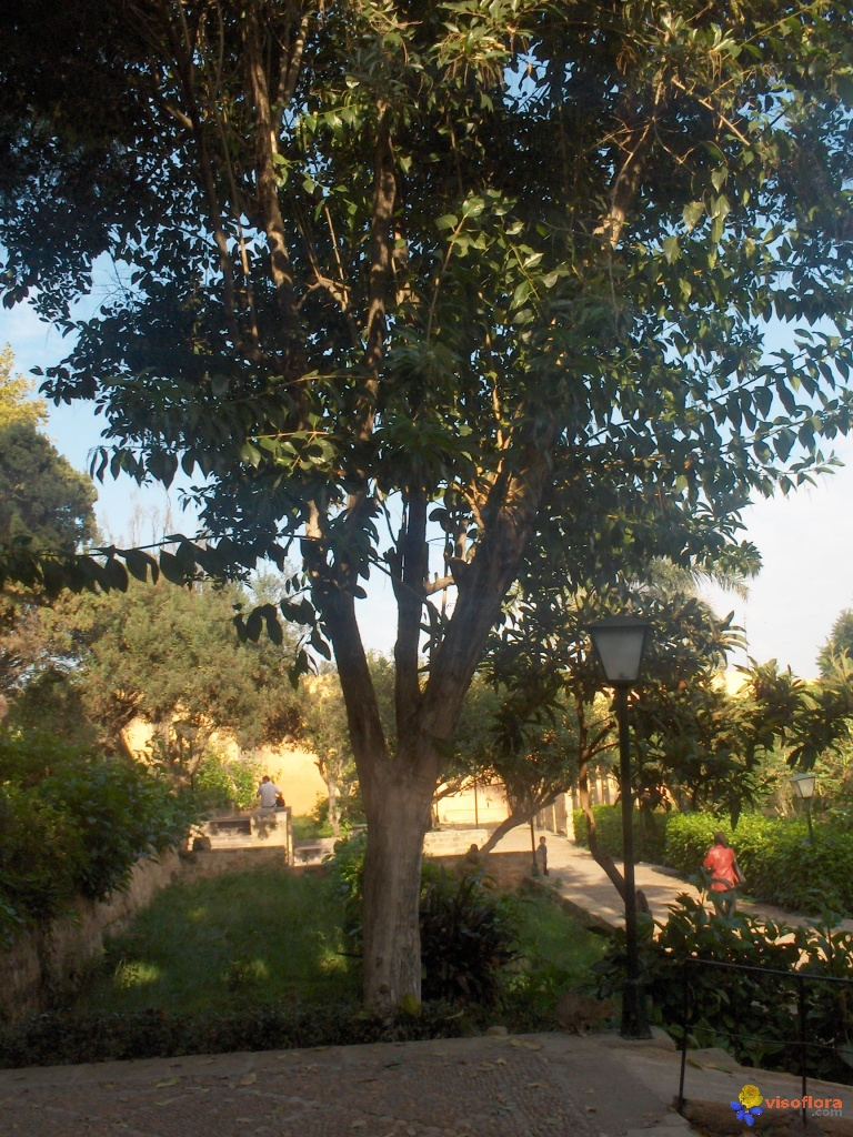 photo arbre jardin oudaya rabat 5