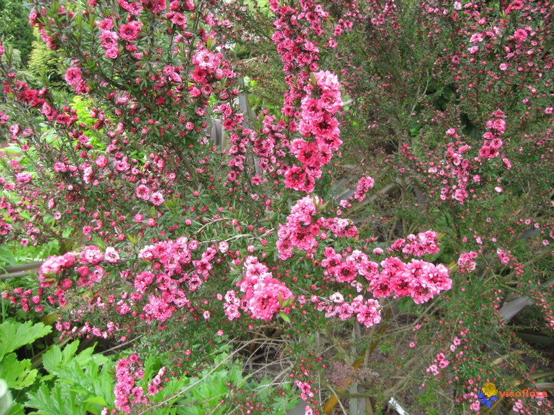 Photo leptospermum arbuste fleuri for Arbuste fleurie exterieur