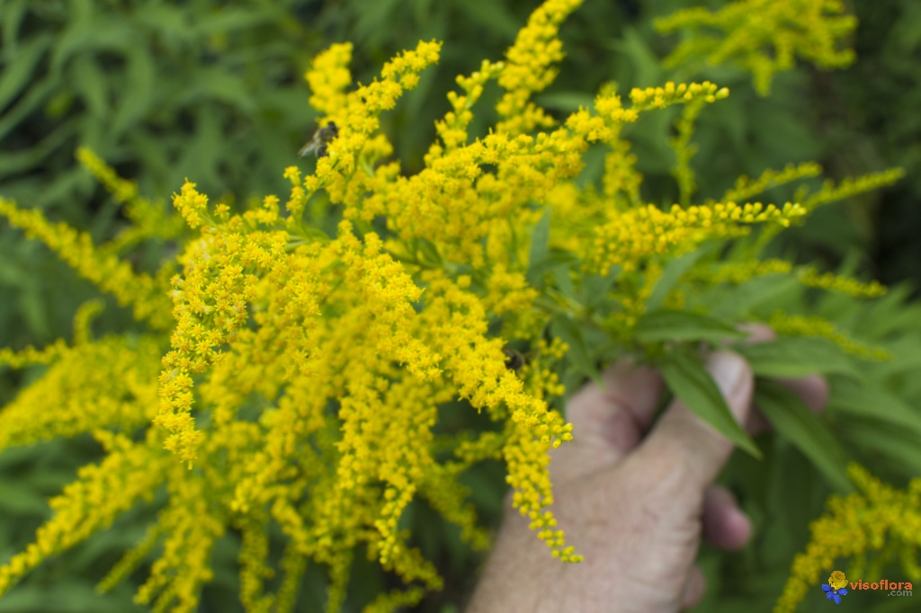 Photo: Giant Goldenrod