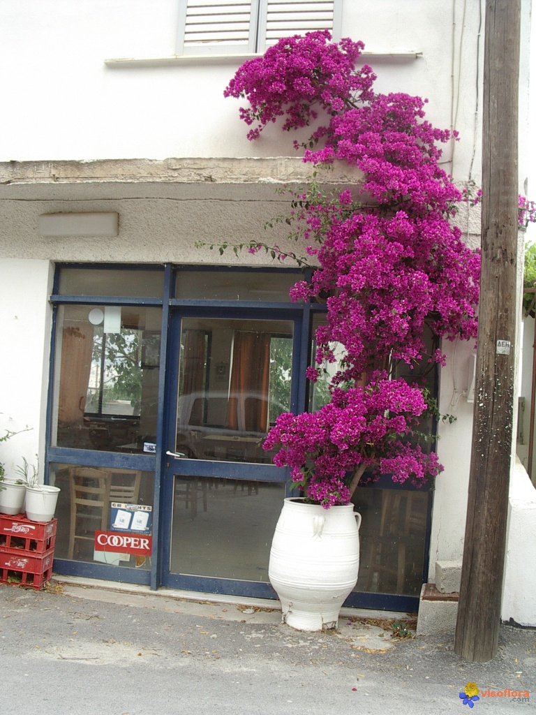 photo bougainvillier en cr 234 te
