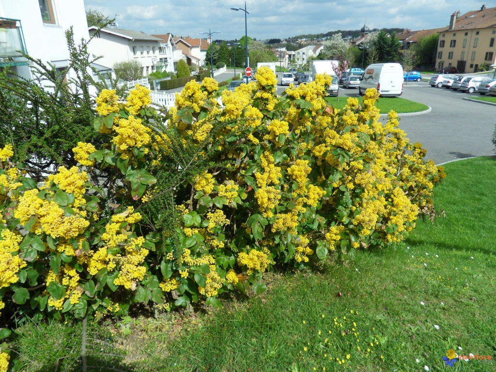 Photo buisson a fleurs jaunes for Plante buisson fleur